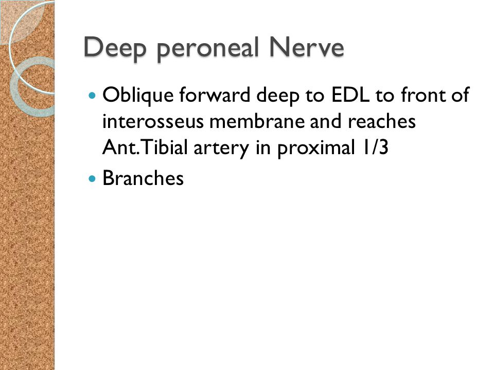 Deep peroneal Nerve Oblique forward deep to EDL to front of interosseus membrane and reaches Ant.Tibial artery in proximal 1/3 Branches