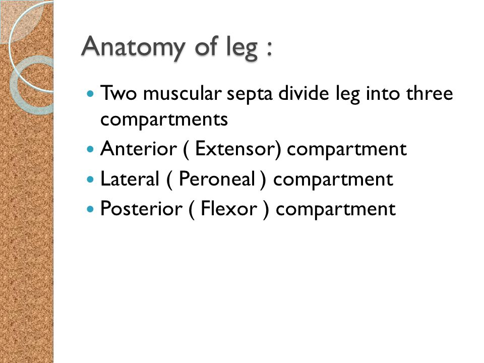 Anatomy of leg : Two muscular septa divide leg into three compartments Anterior ( Extensor) compartment Lateral ( Peroneal ) compartment Posterior ( F