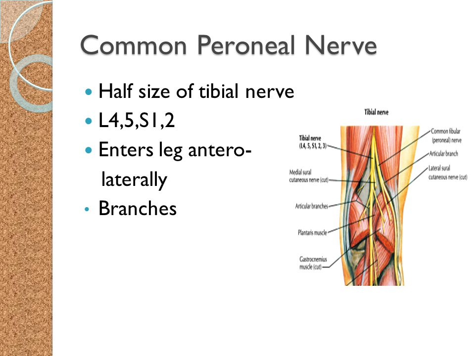 Common Peroneal Nerve Half size of tibial nerve L4,5,S1,2 Enters leg antero- laterally Branches