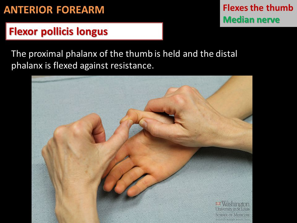 Flexor pollicis longus The proximal phalanx of the thumb is held and the distal phalanx is flexed against resistance. Flexes the thumb Median nerve