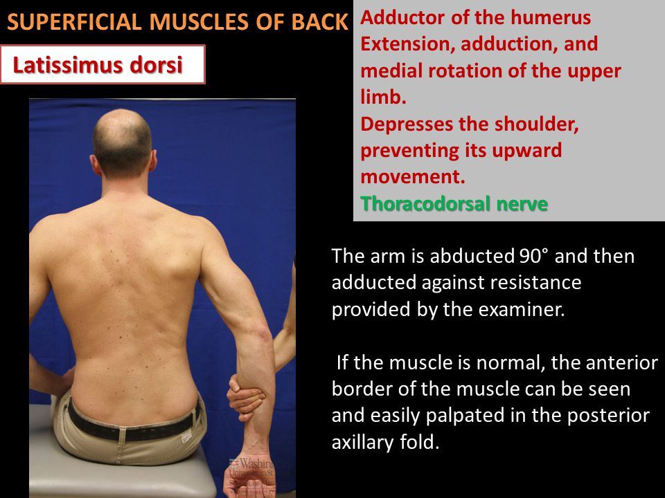 Latissimus dorsi Latissimus dorsi The arm is abducted 90° and then adducted against resistance provided by the examiner. If the muscle is normal, the