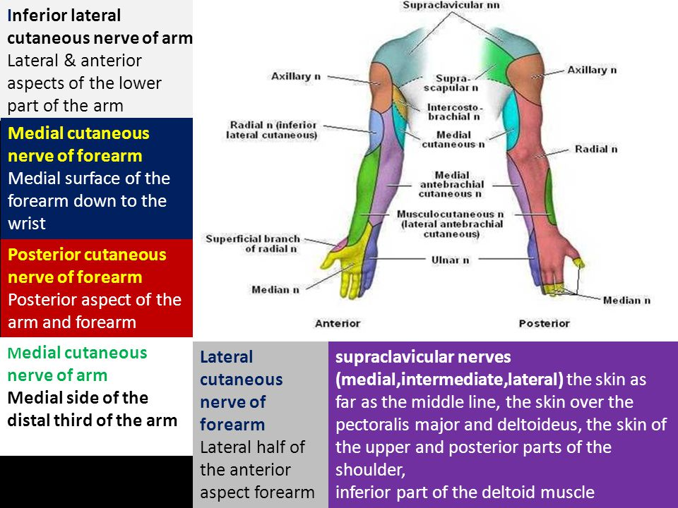 Inferior lateral cutaneous nerve of arm Lateral & anterior aspects of the lower part of the arm Medial cutaneous nerve of forearm Medial surface of the forearm down to the wrist Posterior cutaneous nerve of forearm Posterior aspect of the arm and forearm M edial cutaneous nerve of arm Medial side of the distal third of the arm Lateral cutaneous nerve of forearm Lateral half of the anterior aspect forearm supraclavicular nerves (medial,intermediate,lateral) the skin as far as the middle line, the skin over the pectoralis major and deltoideus, the skin of the upper and posterior parts of the shoulder, inferior part of the deltoid muscle
