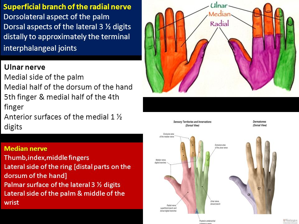 Superficial branch of the radial nerve Dorsolateral aspect of the palm Dorsal aspects of the lateral 3 ½ digits distally to approximately the terminal interphalangeal joints Ulnar nerve Medial side of the palm Medial half of the dorsum of the hand 5th finger & medial half of the 4th finger Anterior surfaces of the medial 1 ½ digits Median nerve Thumb,index,middle fingers Lateral side of the ring [distal parts on the dorsum of the hand] Palmar surface of the lateral 3 ½ digits Lateral side of the palm & middle of the wrist
