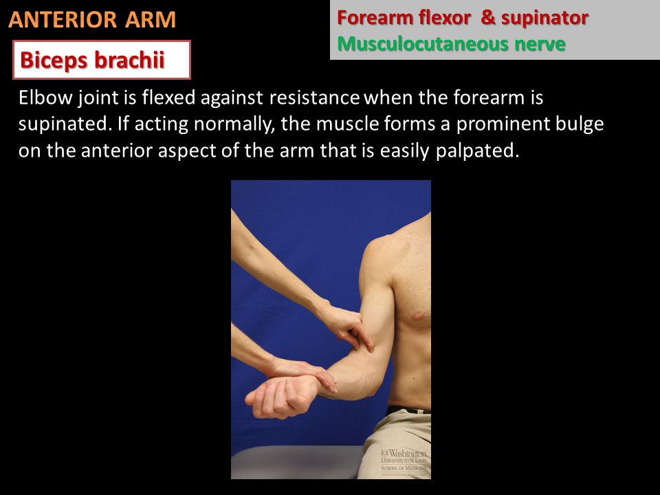 Biceps brachii Elbow joint is flexed against resistance when the forearm is supinated. If acting normally, the muscle forms a prominent bulge on the a