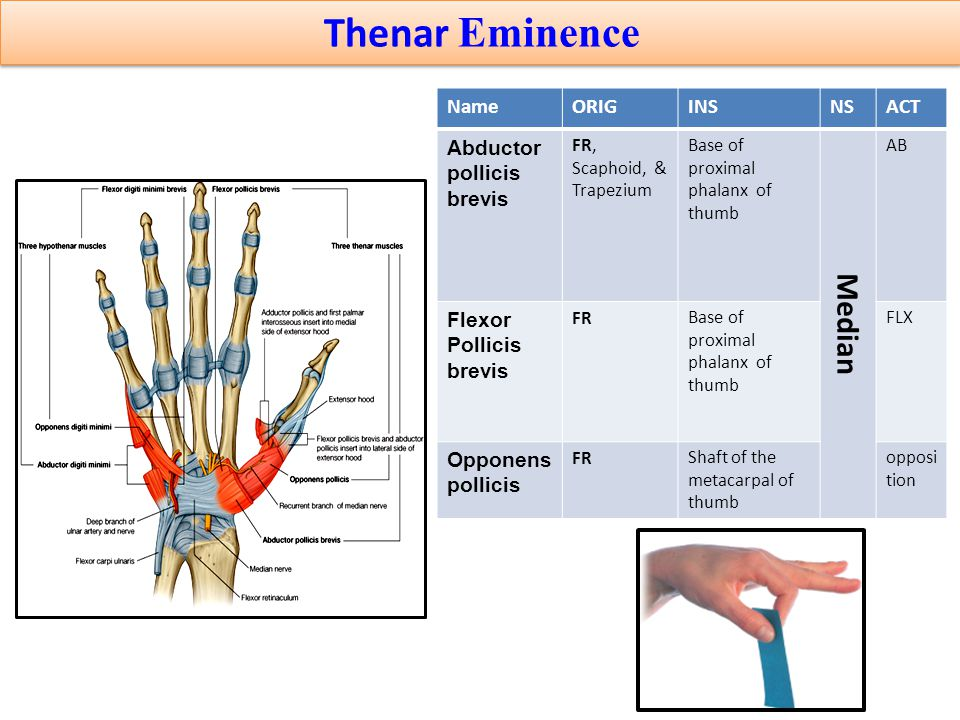Thenar Eminence ACTNSINSORIGName AB Median Base of proximal phalanx of thumb FR, Scaphoid, & Trapezium Abductor pollicis brevis FLXBase of proximal ph