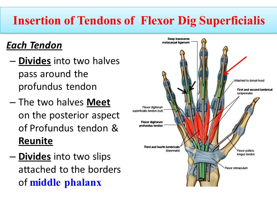 Each Tendon – Divides into two halves pass around the profundus tendon – The two halves Meet on the posterior aspect of Profundus tendon & Reunite – D