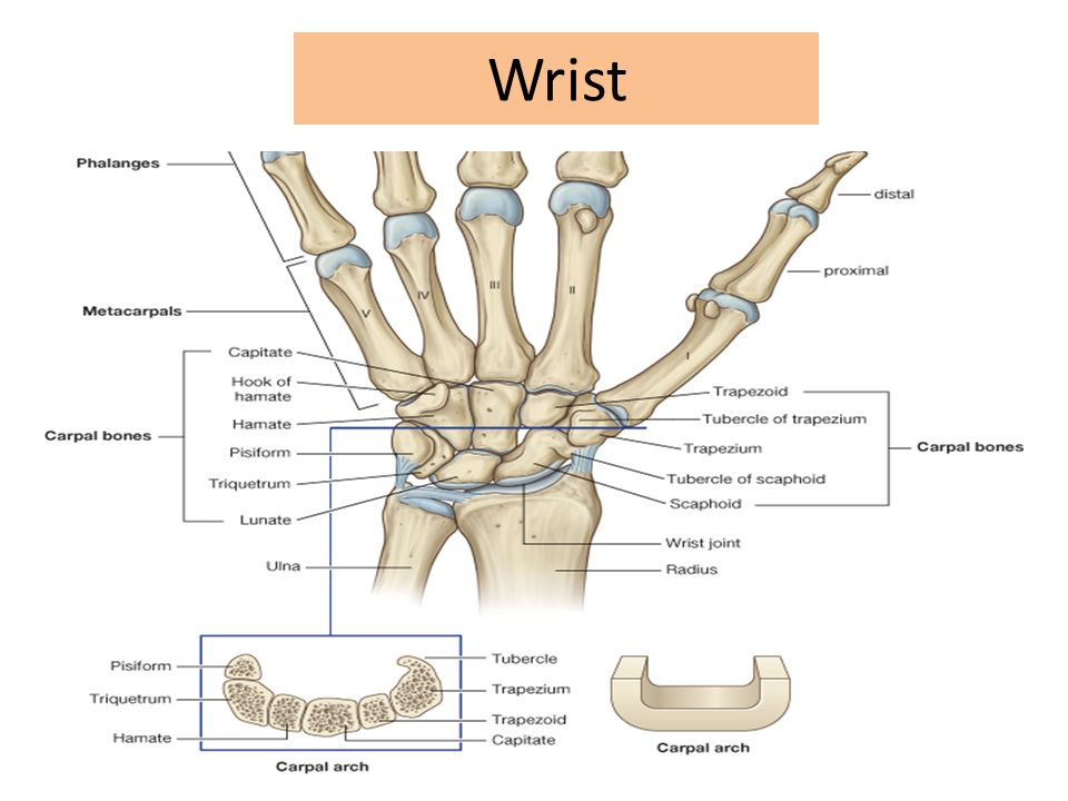The Wrist They are Bands of Deep Fascia of the wrist – Function: Hold the long flexor and extensor tendons in position at the wrist.