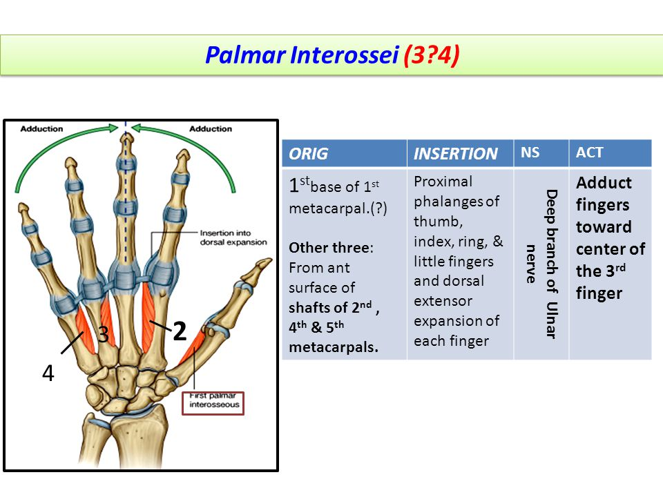 Palmar Interossei (3?4) 2 3 4 1 ORIGINSERTION NSACT 1 st base of 1 st metacarpal.(?) Other three: From ant surface of shafts of 2 nd, 4 th & 5 th meta