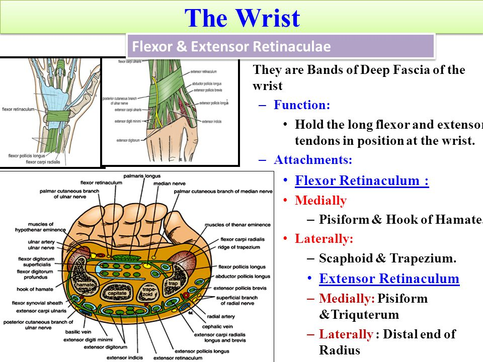 Dorsal Interossei (4) ORIGININSERTIONACTION Contiguous sides of shafts of metacarpals Proximal Phalanges of index, middle & ring finger & dorsal extensor expansion Abduct fingers away from center of 3 rd.