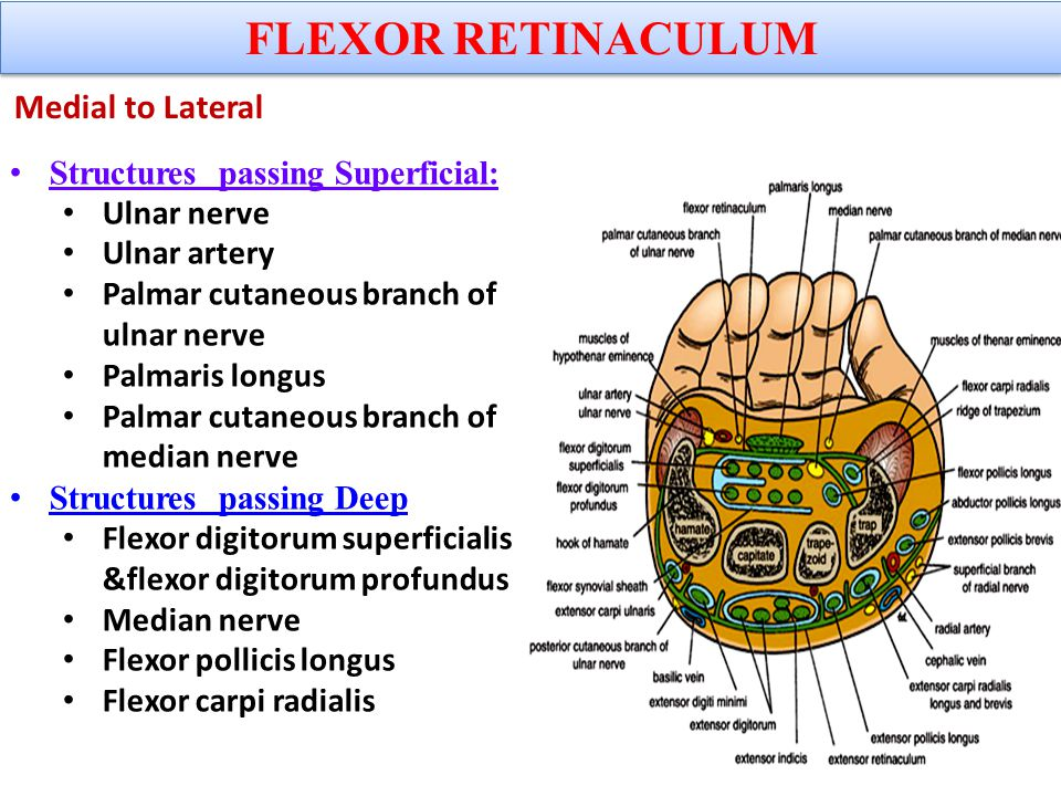Extensor Expansion Formed from the expansion of extensor digitorum tendons At the PIJ, the expansion splits into 3 parts – One Central inserted into the base of Middle phalanx.