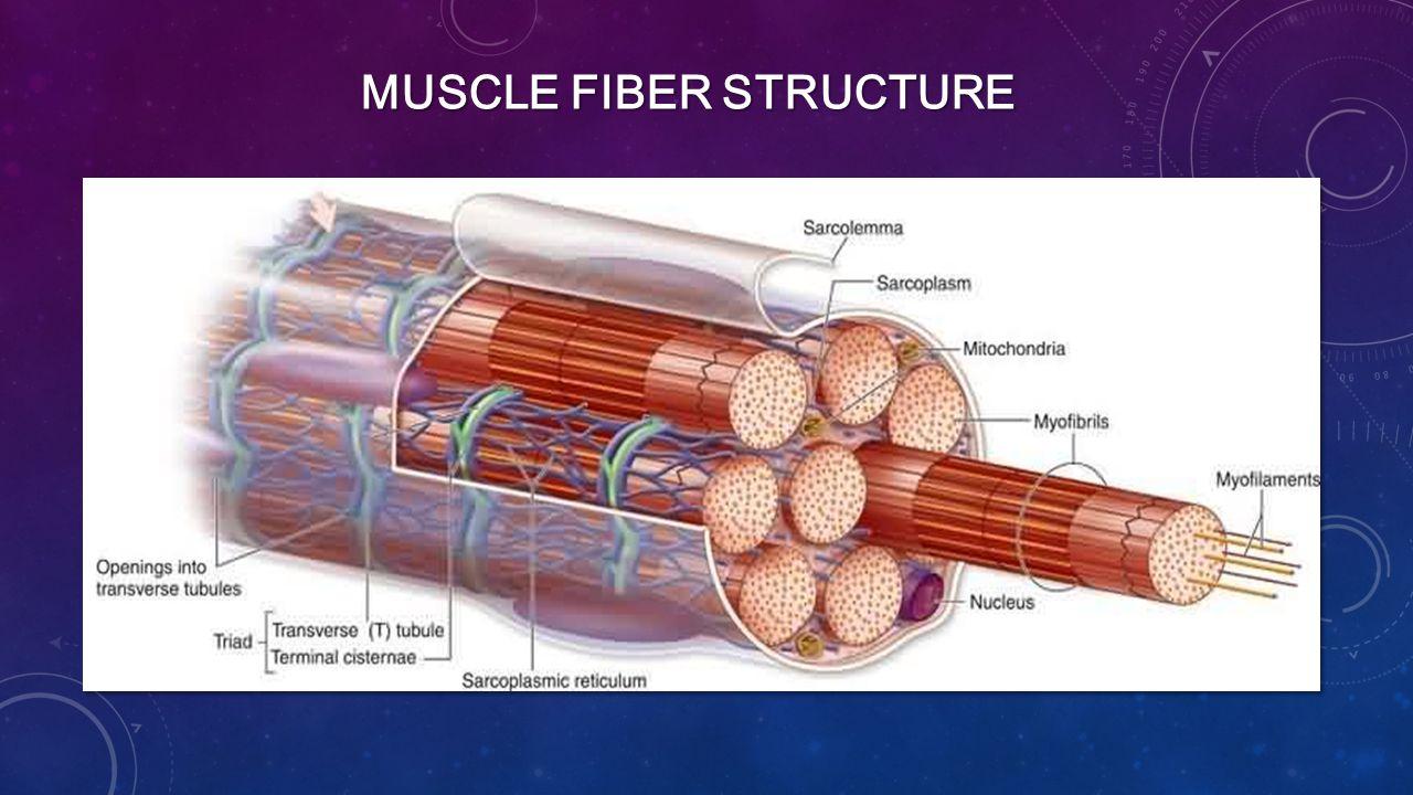 MUSCLE FIBER STRUCTURE