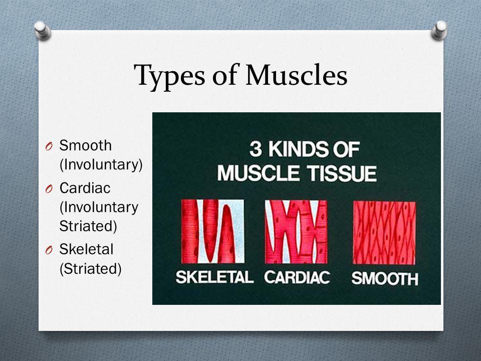 Types of Muscles O Smooth (Involuntary) O Cardiac (Involuntary Striated) O Skeletal (Striated)