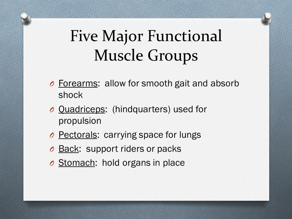 Five Major Functional Muscle Groups O Forearms: allow for smooth gait and absorb shock O Quadriceps: (hindquarters) used for propulsion O Pectorals: c