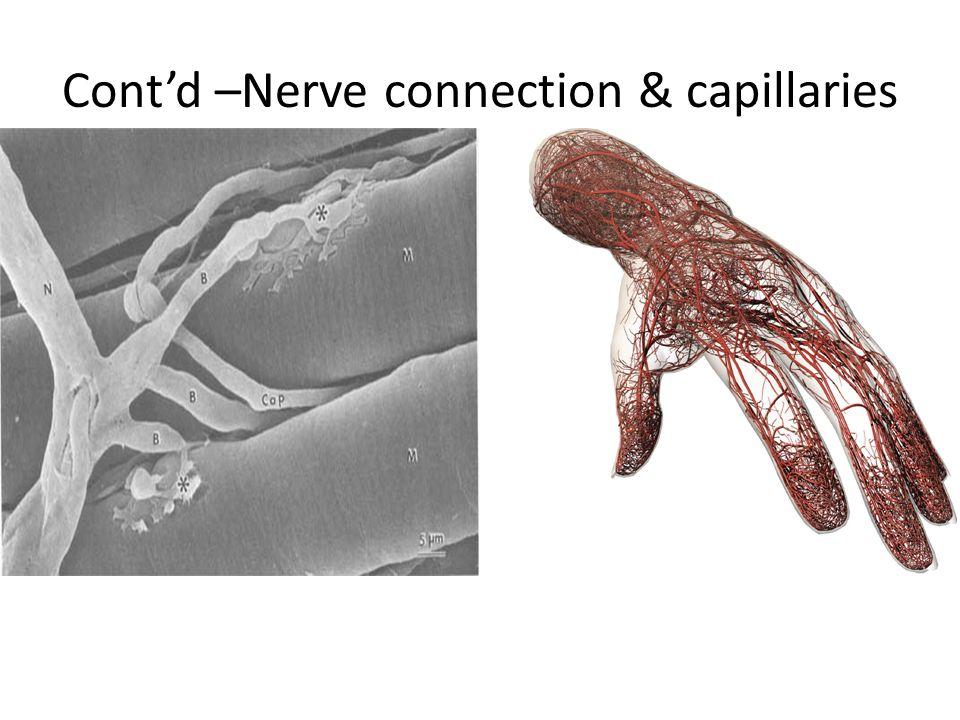 Cont'd –Nerve connection & capillaries