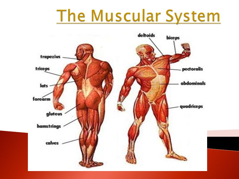 Muscle System | New Health Guide