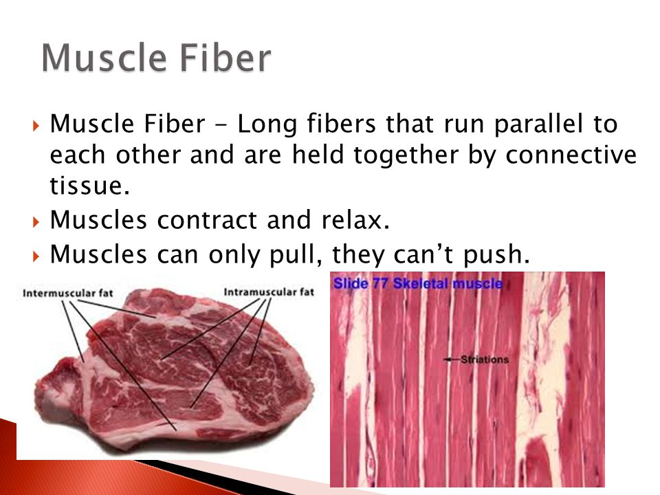  Muscle Fiber - Long fibers that run parallel to each other and are held together by connective tissue.  Muscles contract and relax.  Muscles can o