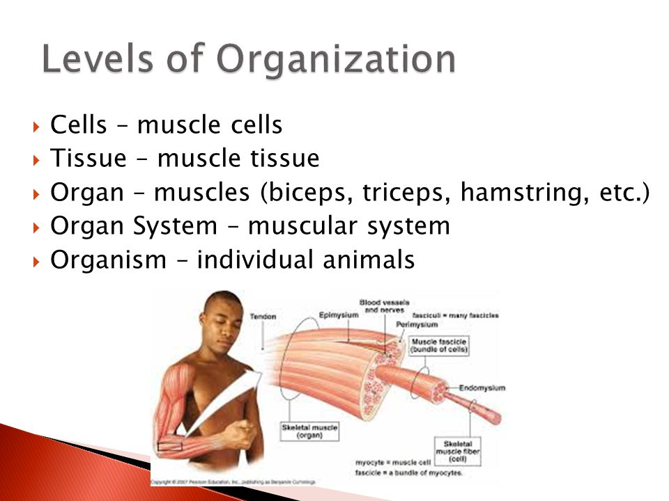 Muscle Organ Structure - YouTube