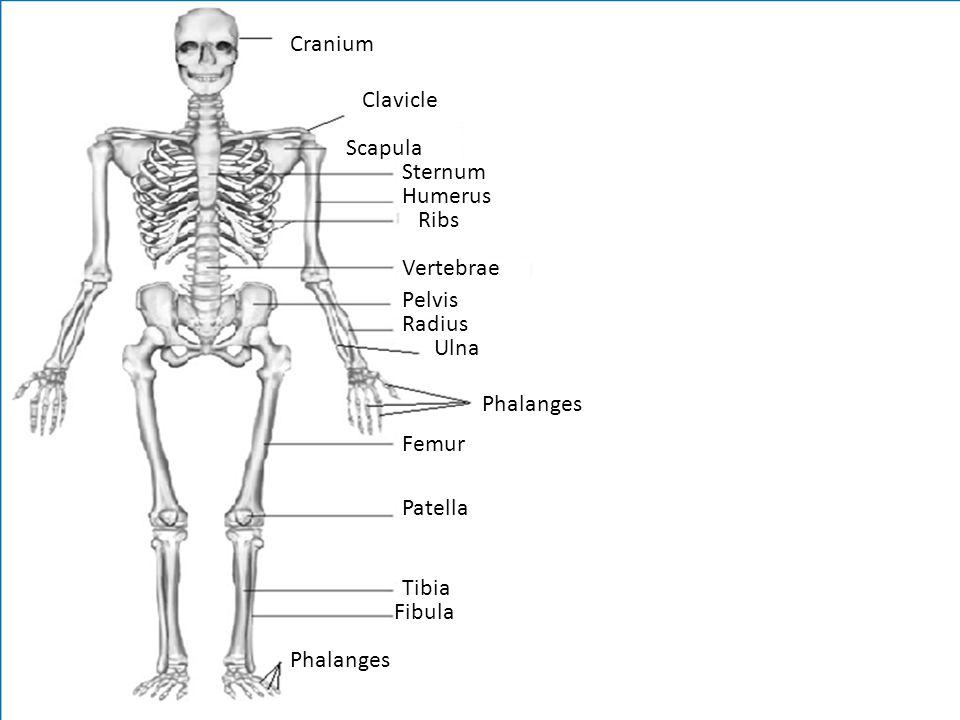 Cranium Clavicle Sternum Humerus Ribs Vertebrae Pelvis Radius Ulna Phalanges Femur Patella Tibia Fibula Phalanges Scapula