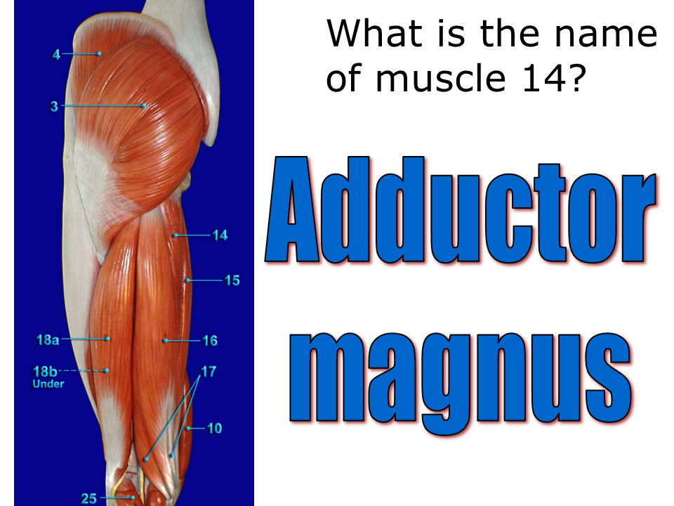 What is the name of muscle 14