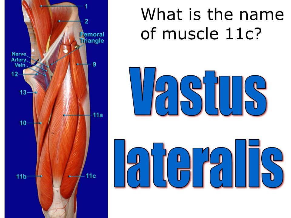 What is the name of muscle 11c?