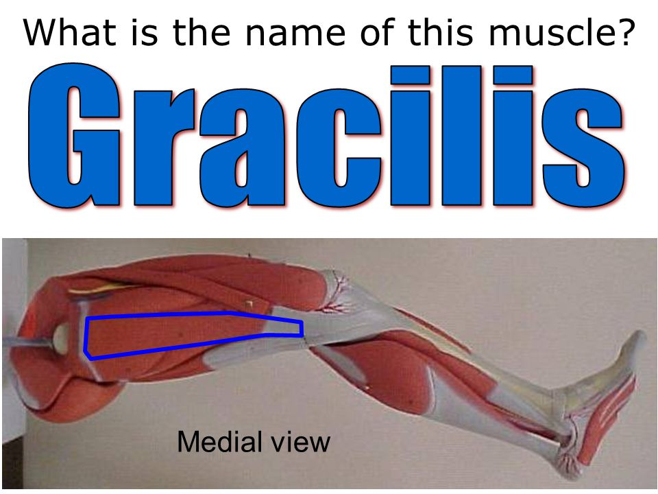 What is the name of this muscle Medial view