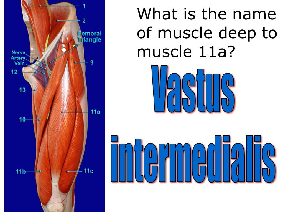 What is the name of muscle deep to muscle 11a