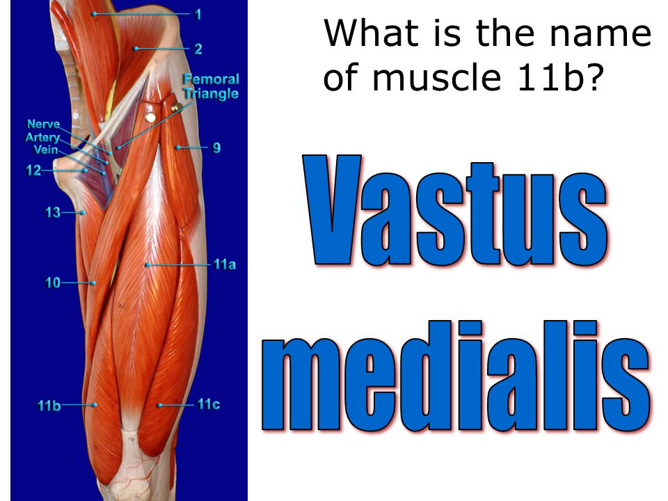 What is the name of muscle 11b?
