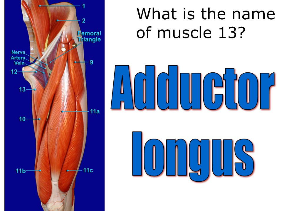What is the name of muscle 13