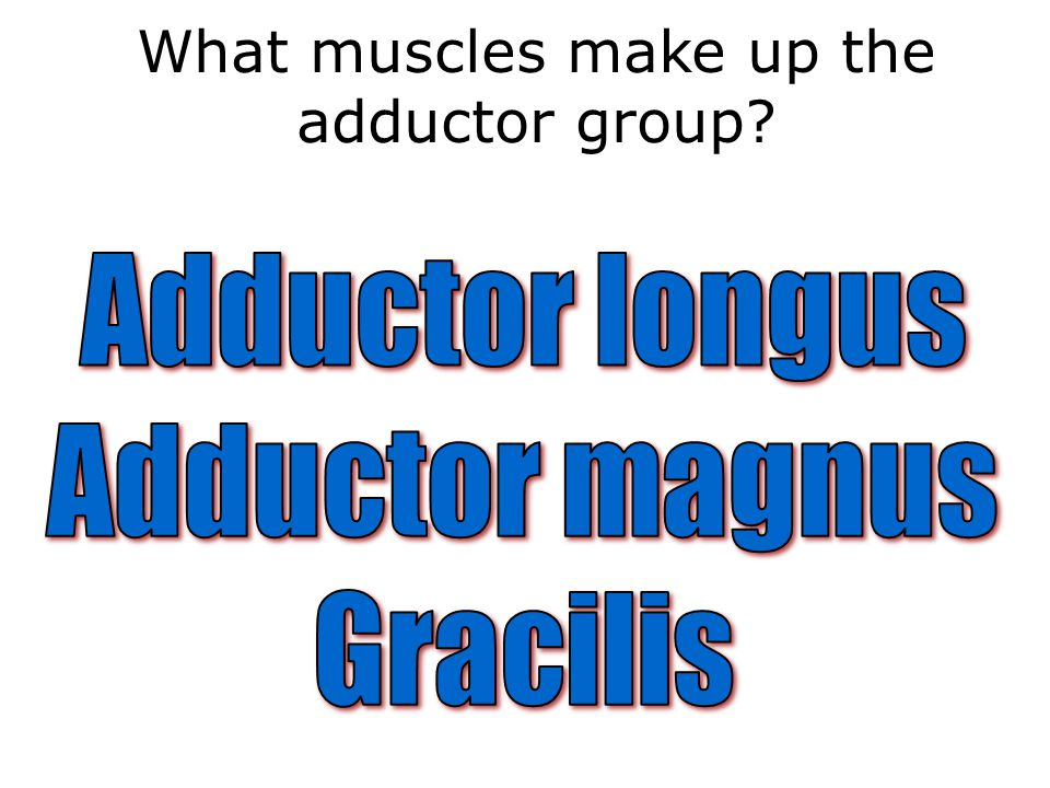What muscles make up the adductor group?