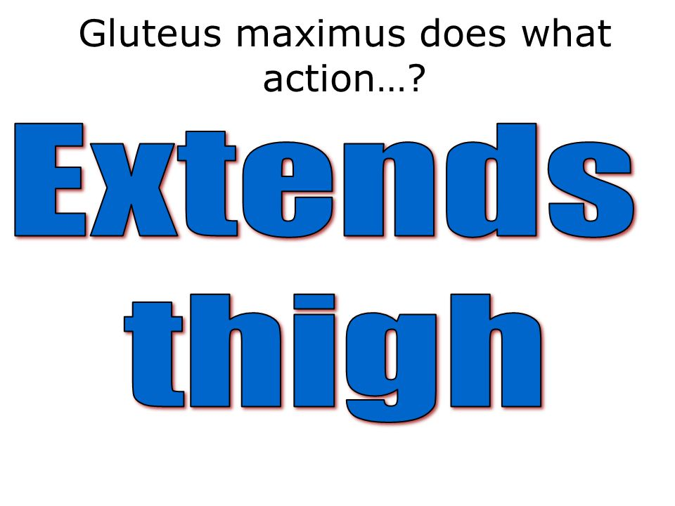 Gluteus maximus does what action…