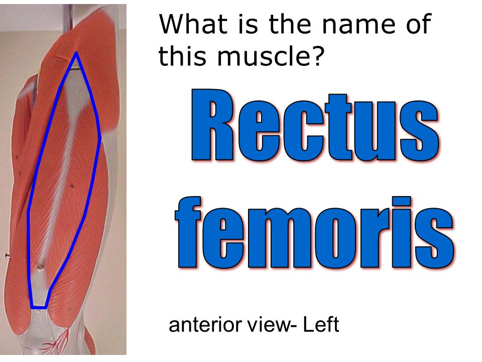 What is the name of this muscle anterior view- Left