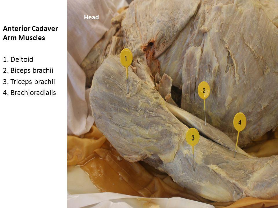 Anterior Cadaver Arm Muscles 1.Deltoid 2. Biceps brachii 3.