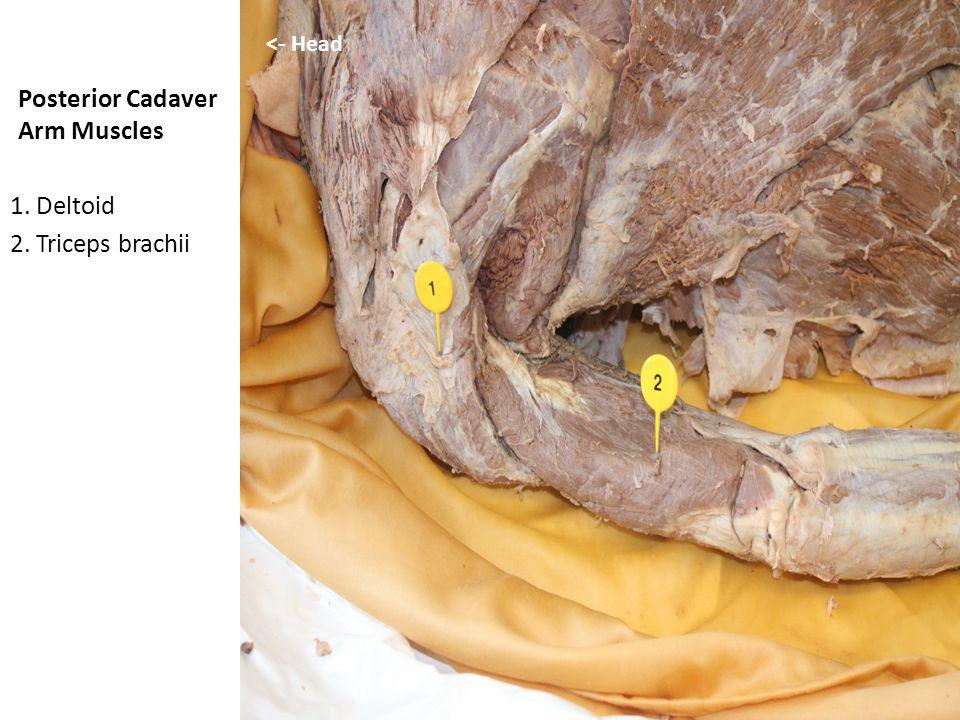 Posterior Cadaver Arm Muscles 1. Deltoid 2. Triceps brachii <- Head