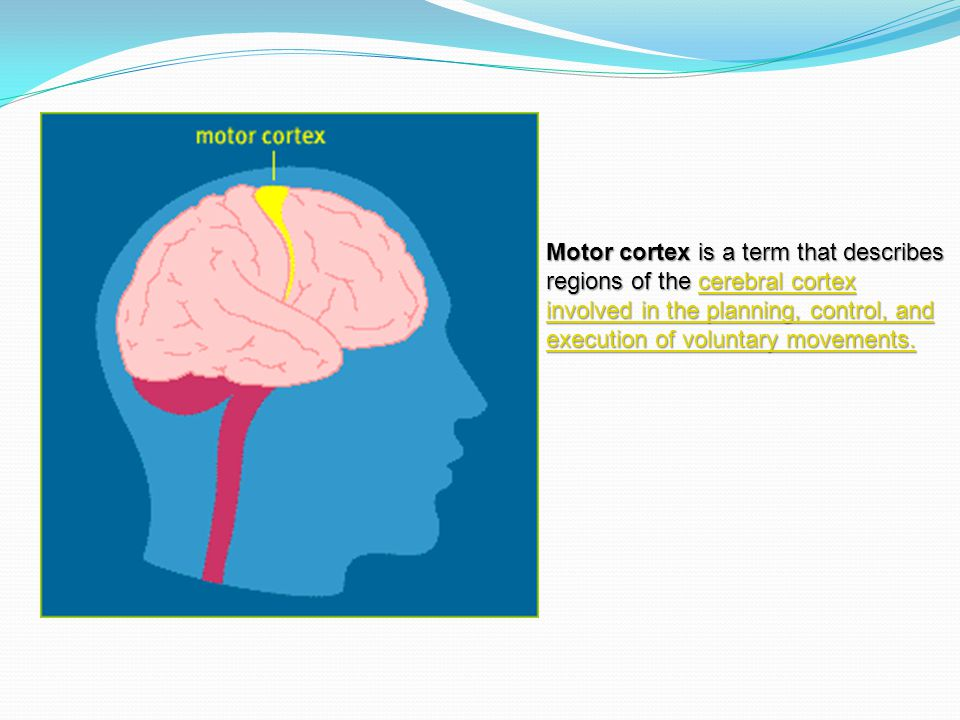 Motor cortex is a term that describes regions of the cerebral cortex involved in the planning, control, and execution of voluntary movements.