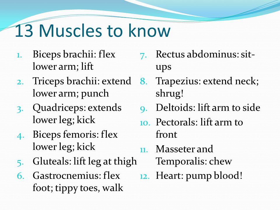 13 Muscles to know 1. Biceps brachii: flex lower arm; lift 2. Triceps brachii: extend lower arm; punch 3. Quadriceps: extends lower leg; kick 4. Bicep