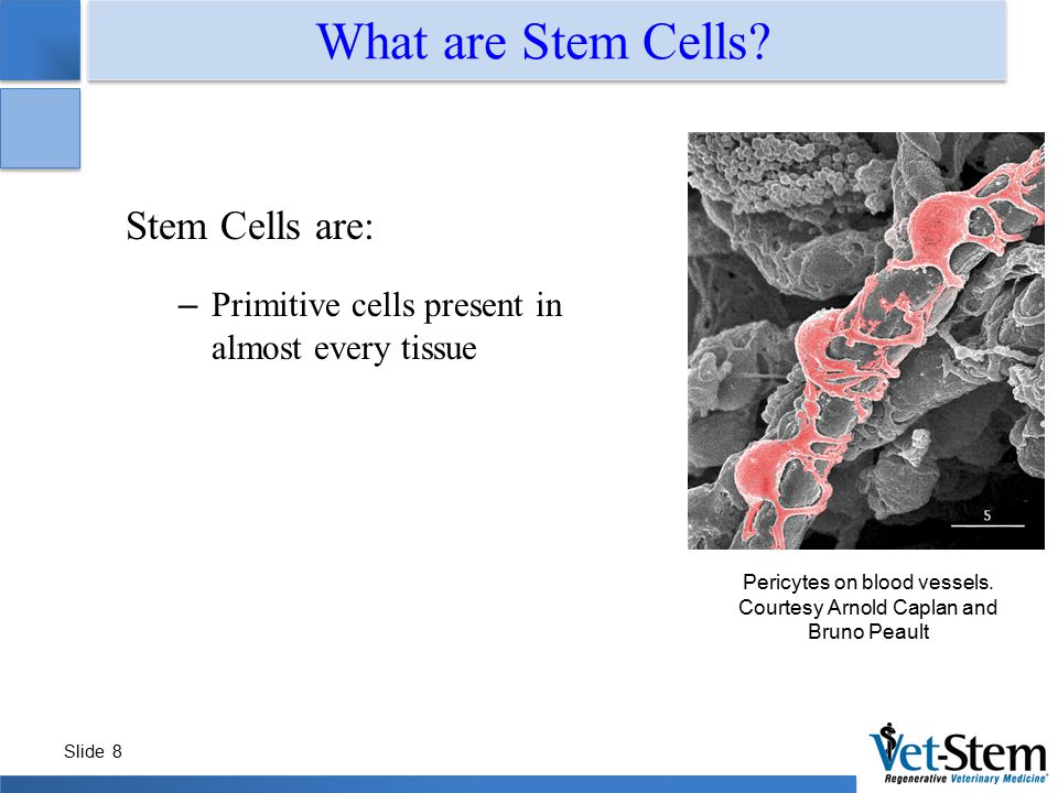 Slide 8 What are Stem Cells? Pericytes on blood vessels. Courtesy Arnold Caplan and Bruno Peault Stem Cells are: – Primitive cells present in almost e