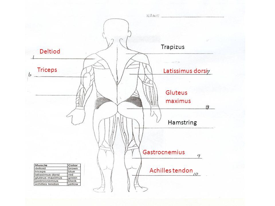 Deltiod Triceps Latissimus dorsi Gluteus maximus Gastrocnemius Achilles tendon Trapizus Hamstring