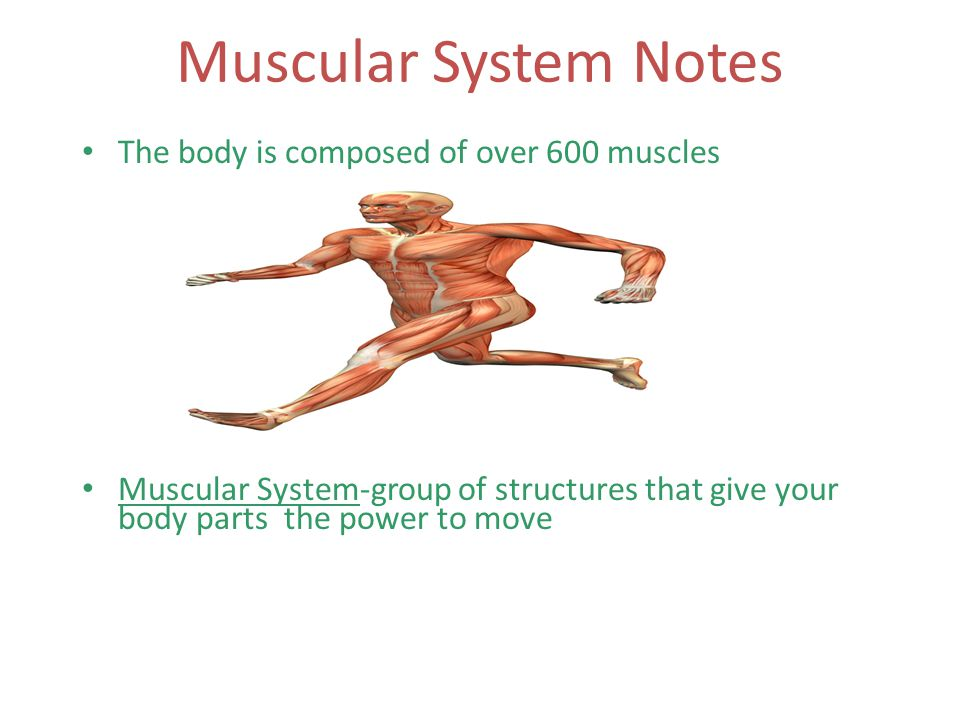 Muscular System Notes The body is composed of over 600 muscles Muscular System-group of structures that give your body parts the power to move