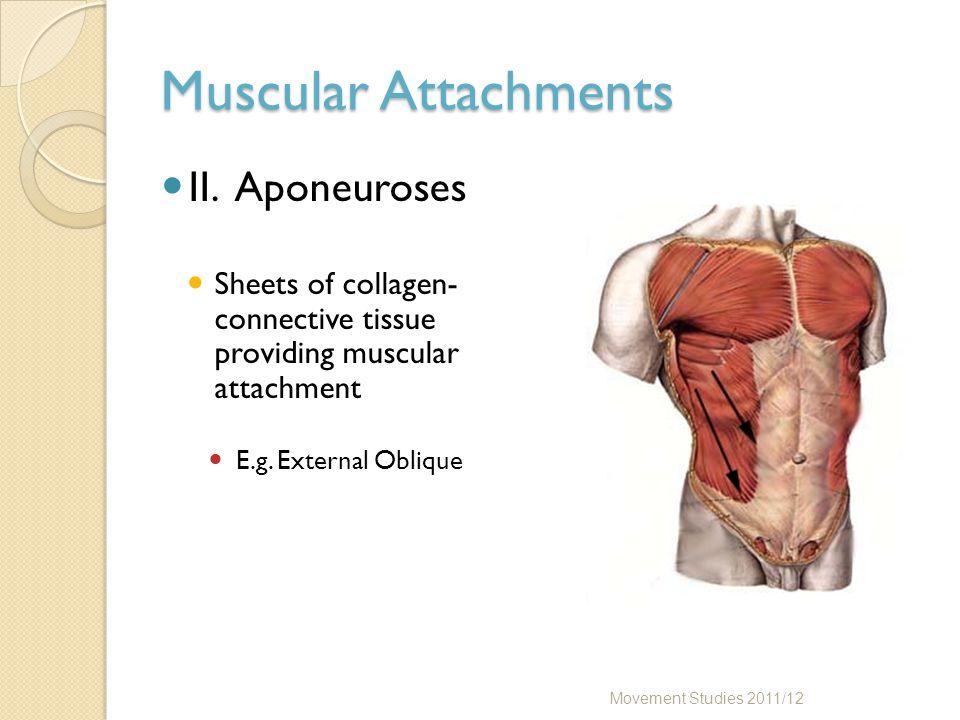 Muscular Attachments II.