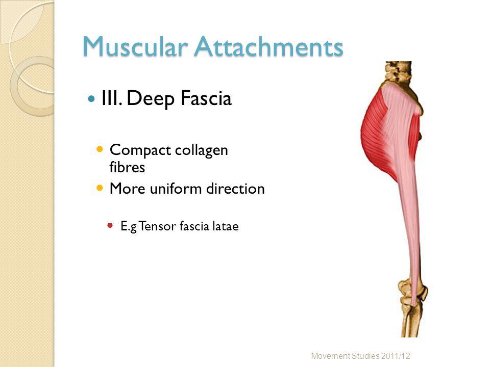 Muscular Attachments III. Deep Fascia Compact collagen fibres More uniform direction E.g Tensor fascia latae Movement Studies 2011/12