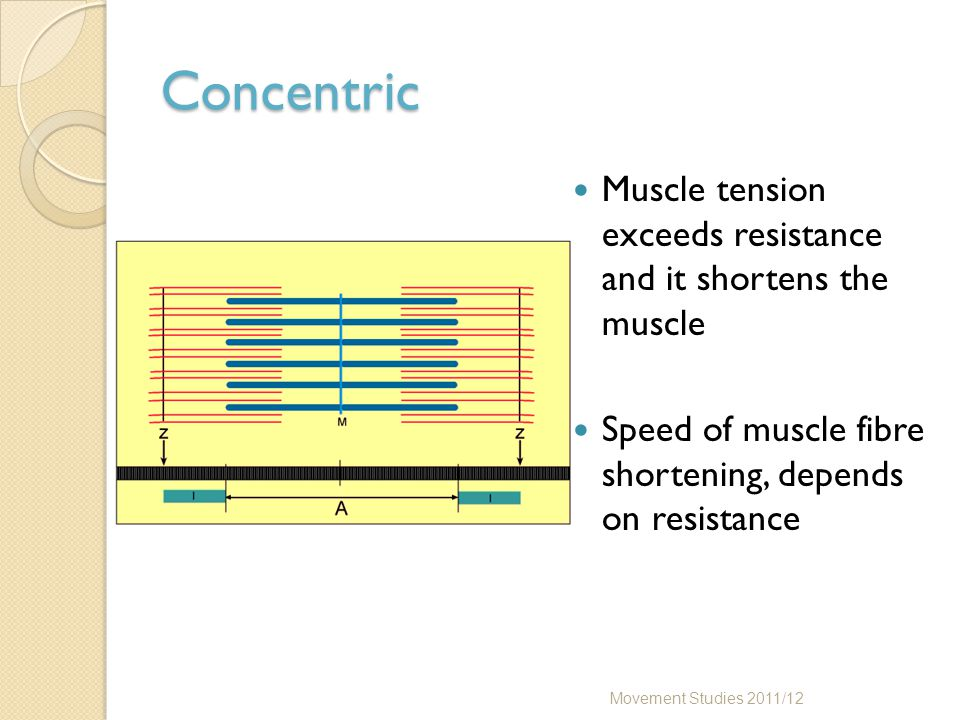 Concentric Muscle tension exceeds resistance and it shortens the muscle Speed of muscle fibre shortening, depends on resistance Movement Studies 2011/