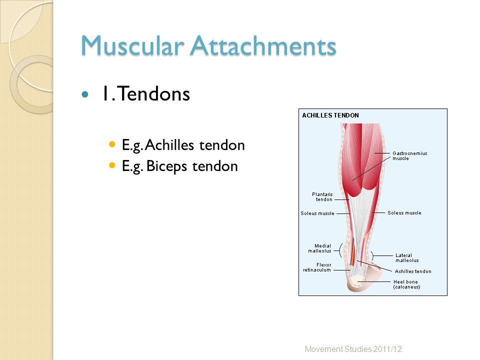 Muscular Attachments 1. Tendons E.g. Achilles tendon E.g. Biceps tendon Movement Studies 2011/12