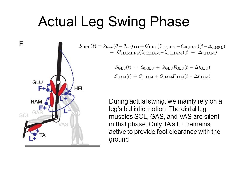 Actual Leg Swing Phase During actual swing, we mainly rely on a leg's ballistic motion.