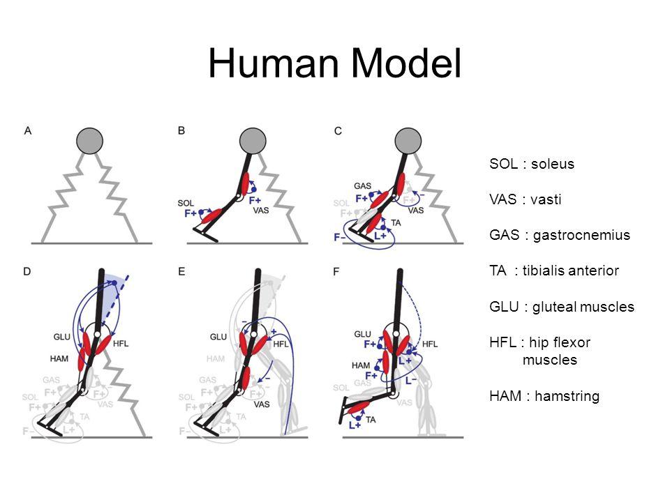 Human Model SOL : soleus VAS : vasti GAS : gastrocnemius TA : tibialis anterior GLU : gluteal muscles HFL : hip flexor muscles HAM : hamstring