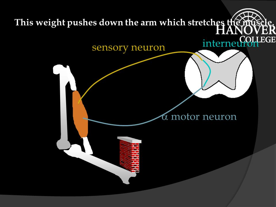 motor neuron sensory neuron interneuron A weight is applied to the arm.