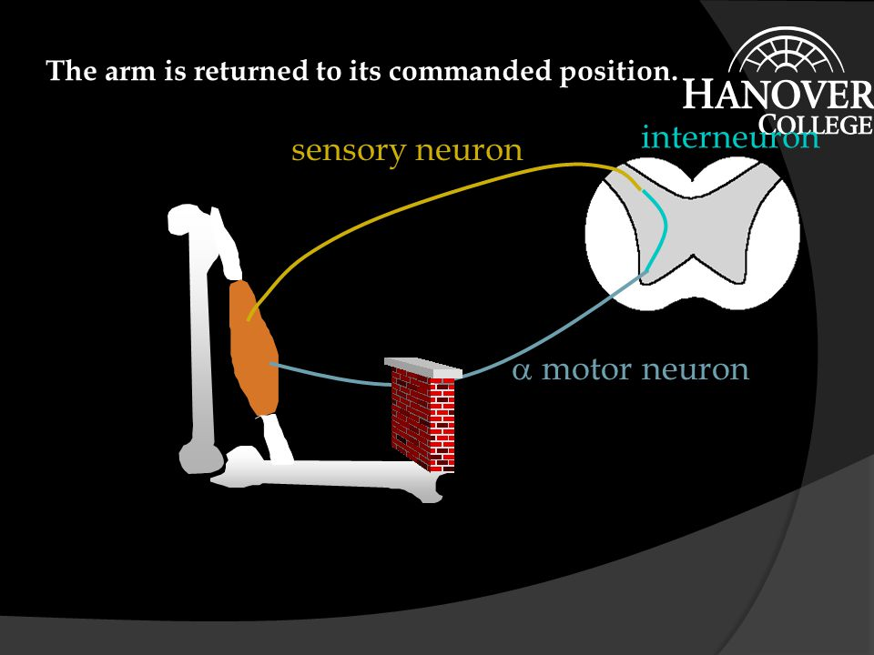  motor neuron sensory neuron interneuron A command to further contract the muscle is sent out the alpha motor neuron.