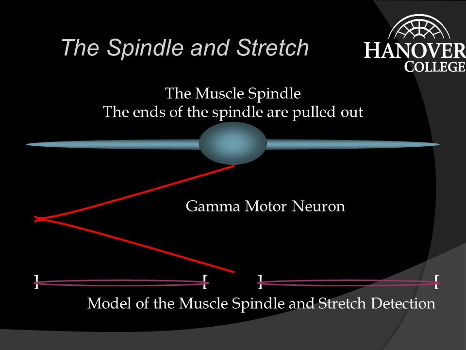 The Spindle and Stretch The Muscle Spindle Gamma Motor Neuron Model of the Muscle Spindle and Stretch Detection ] [