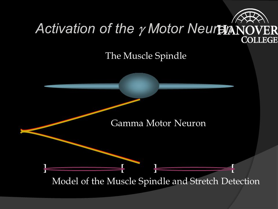 The Spindle and Stretch  What happens when the spindle is stretched.
