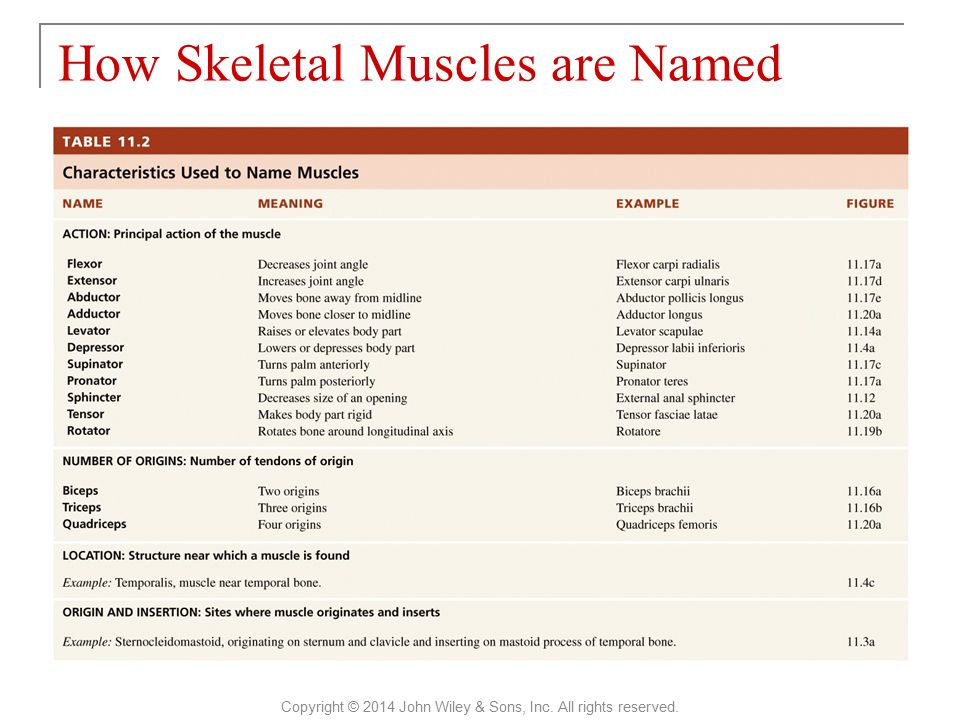 How Skeletal Muscles are Named Copyright © 2014 John Wiley & Sons, Inc. All rights reserved.