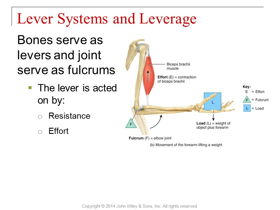 Bones serve as levers and joint serve as fulcrums  The lever is acted on by: o Resistance o Effort Lever Systems and Leverage Copyright © 2014 John W